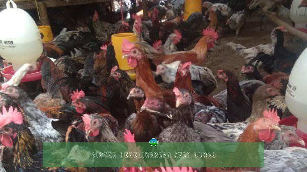 Sistem Pemeliharaan Ayam Buras