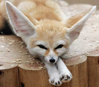 Fennec Fox Adaptations