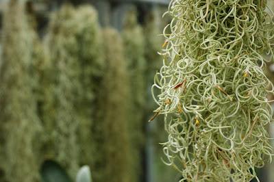 Tillandsia usneoides care and culture