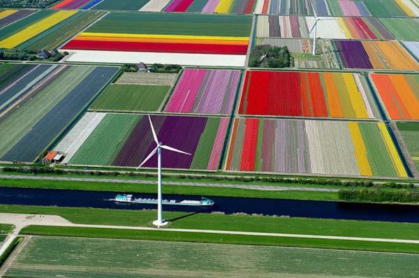 حقول التوليب (هولندا)