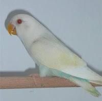 Lovebird pale fallow