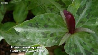 Trillium Kurabayashii