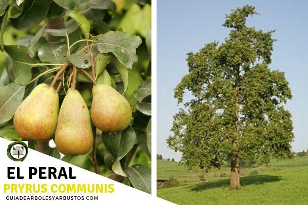 El peral es un árbol de la familia Rosáceas procedente de las regiones templadas del sur de Europa