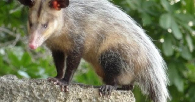 Animales en Yucatán a proteger: Zorros