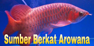 arowana super red