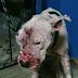 ΚΥΝΟΜΑΧΙΕΣ: Μαγείρευαν το κρέας των σκύλων που έχαναν