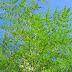 الشجرة المعجزة  المورينجا تحميك من 300 مرض