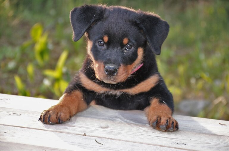 The first vaccinations for Rottweiler puppies