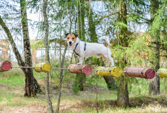 A Jack Russell Terrier balances on a rope bridge