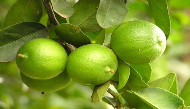 Manfaat Jeruk Nipis untuk Asam Urat