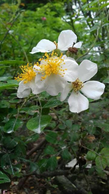 hoa hồng tầm xuân cánh đơn màu trắng nở vào mùa xuân