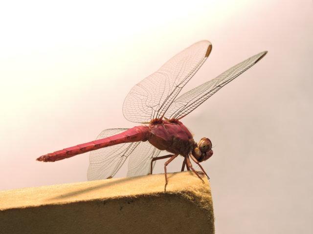 libélula de color fucsia o rosa