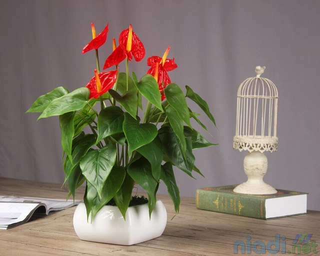 jual tanaman hias anthurium bunga merah indah