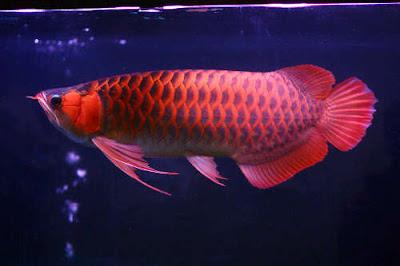 Harga Ikan Arwana Terbaru 2015