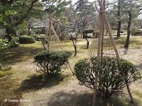 Winter ropes protection for small shrubs - Kenroku-en Garden, Kanazawa, Japan