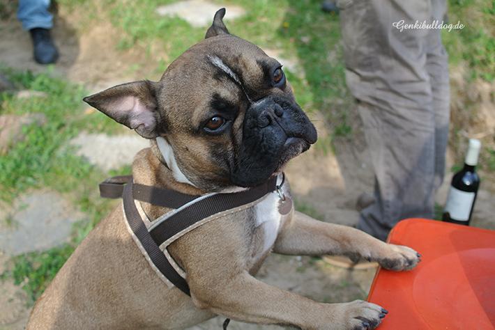 Hundbelog Französische Bulldogge Genki Bulldog