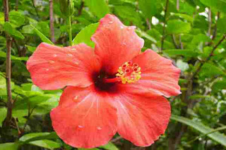 Hibiscus leaves benefits in hindi