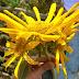 Wordless Wednesday: Sunflower Triplet