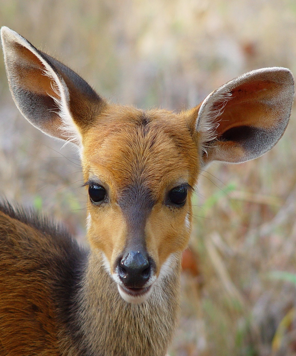A face of a young bushbuck antelope.