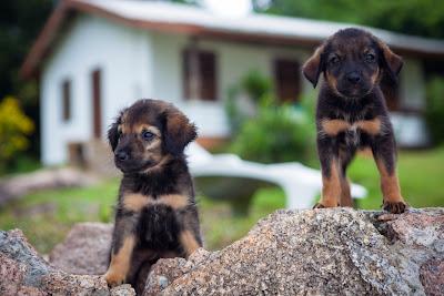 Zwei Hundewelpen an der Anse Severe auf La Digue