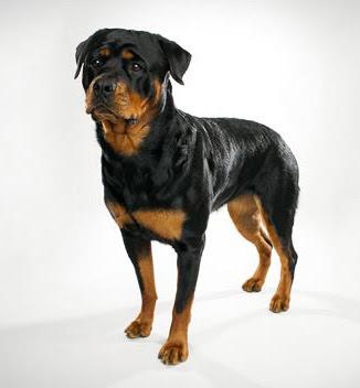 Rottweiler breed characteristics