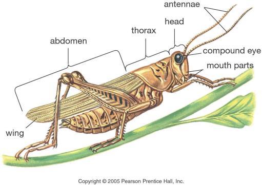 Gambar  . Struktur tubuh belalang