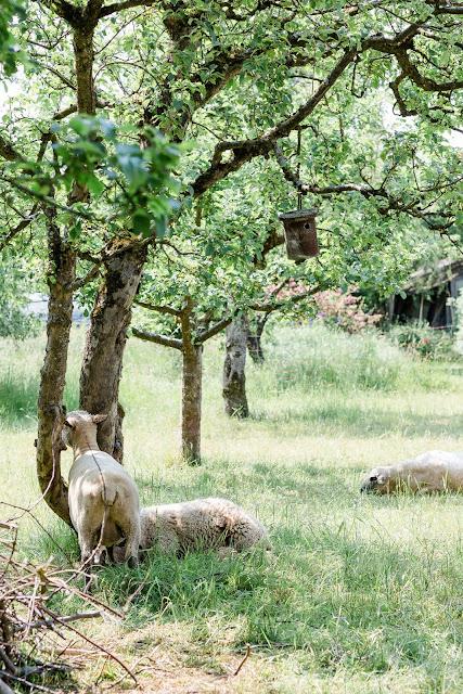 Von Unkraut- Upcycling, Regaldeko und tierischen Nachbarn, Pomponetti, Schafe in Nachbars Garten