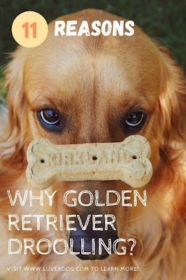 Why does my Golden Retriever drool so much?