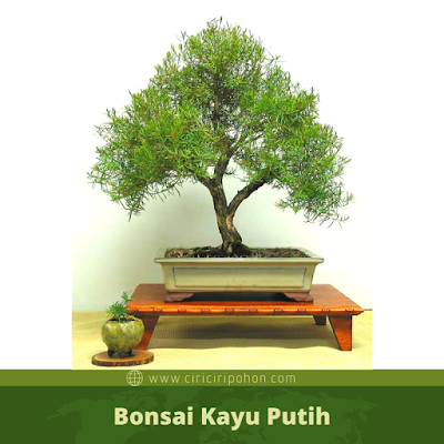 Bonsai Kayu Putih