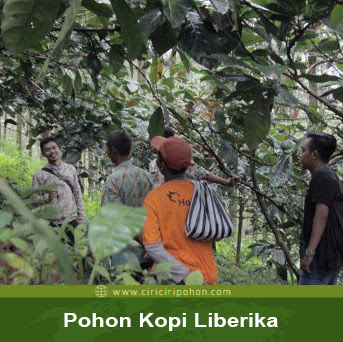ciri ciri pohon kopi liberka