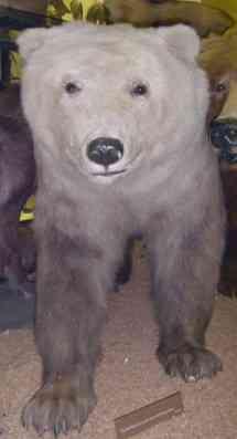 Polarbrown - هجين الدب