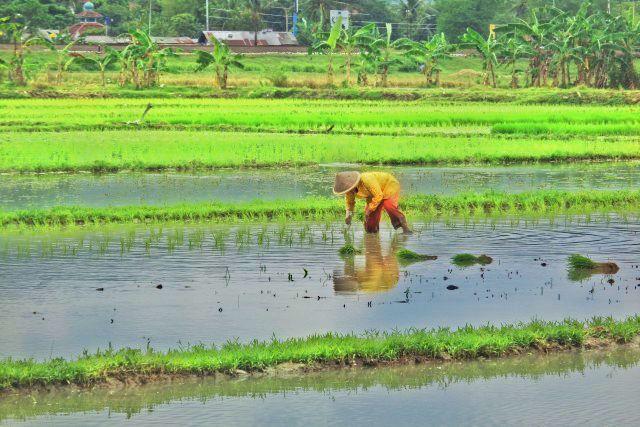 Pemandangan Seorang Petani Sedang Menanam Benih Padi di Sawah