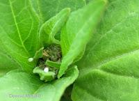 Monarch eggs in middle of Swamp milkweed top - © Denise Motard