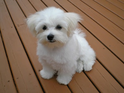 Does Your Maltese Stand Up to the Supposed Standard?