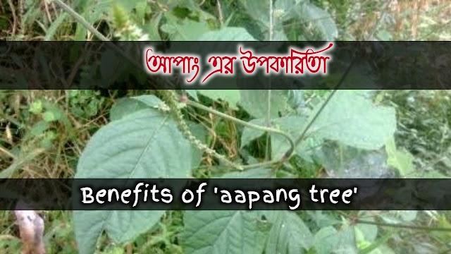 Apang's herbal qualities and benefits- আপাং এর বনৌষধি গুনাগুন ও উপকারিতা