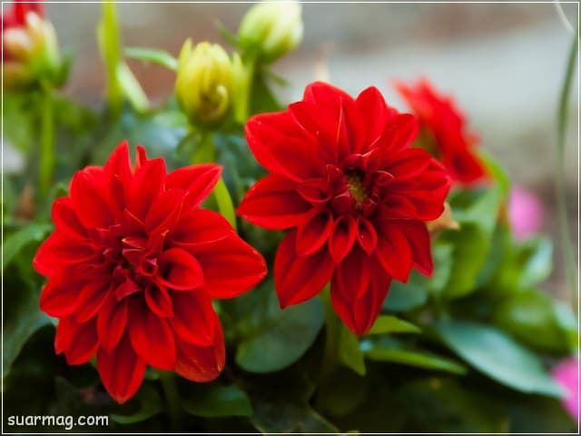 صور ورد - ورد احمر 4 | Flowers Photos - Red Roses 4