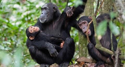 Először készült felvétel rákot fogó csimpánzokról