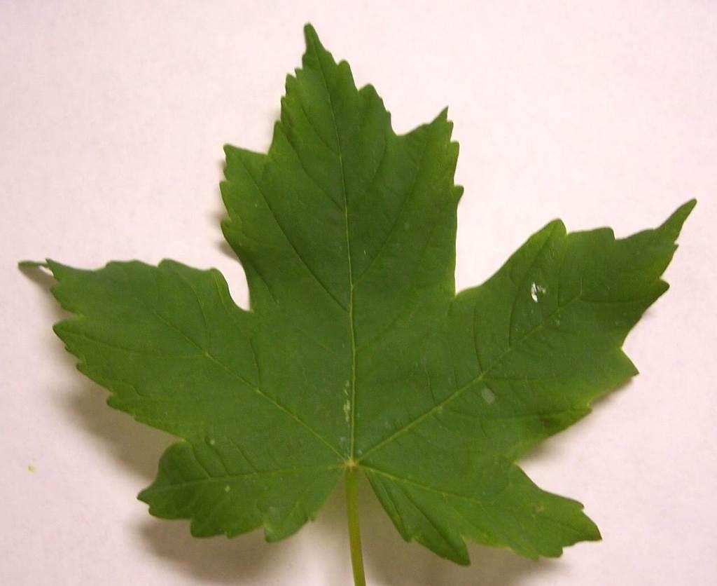 Red Maple Tree Leaves | www.imgkid.com - The Image Kid Has It!