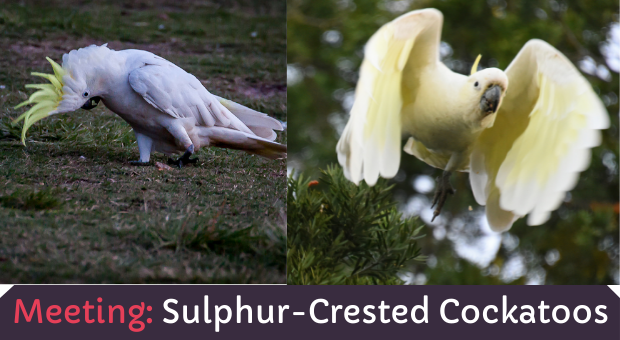all about Sulphur Crested Cockatoos