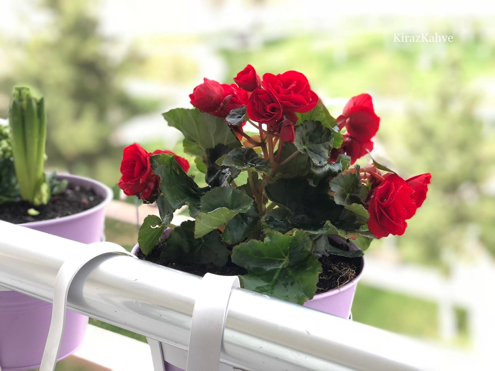 kırmızı gardenya