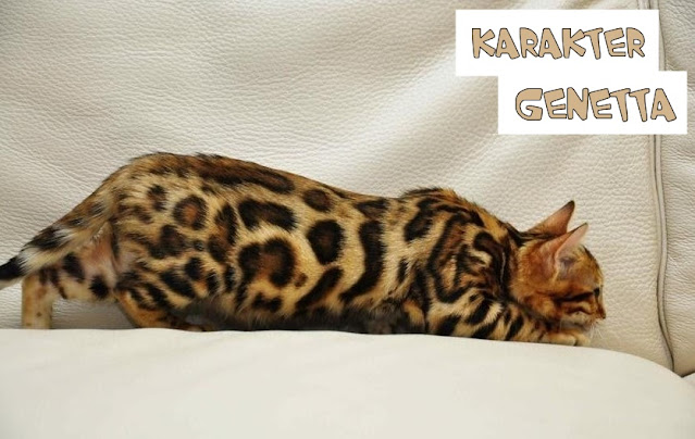 Kepribadian Kucing Genetta