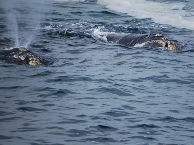 Southern Right Whales near Hermanus in South Africa