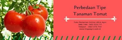 tomat buah, buah tomat, tanaman tomat, jual benih tomat, toko pertanian, toko online, lmga agro