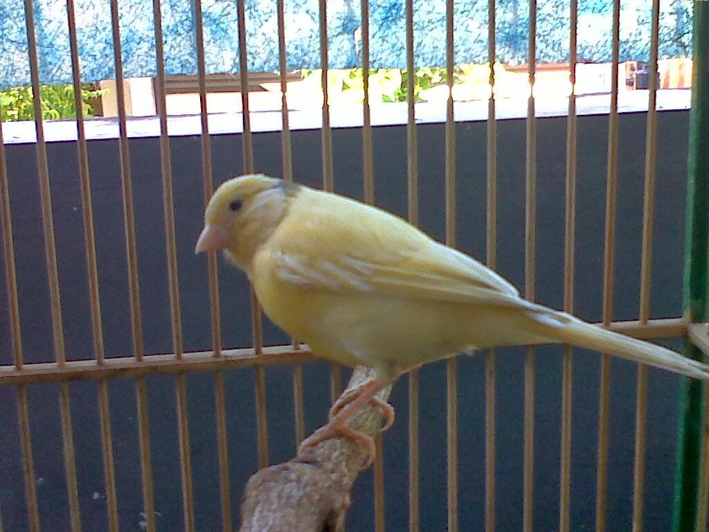 Harga Burung Kenari Ri