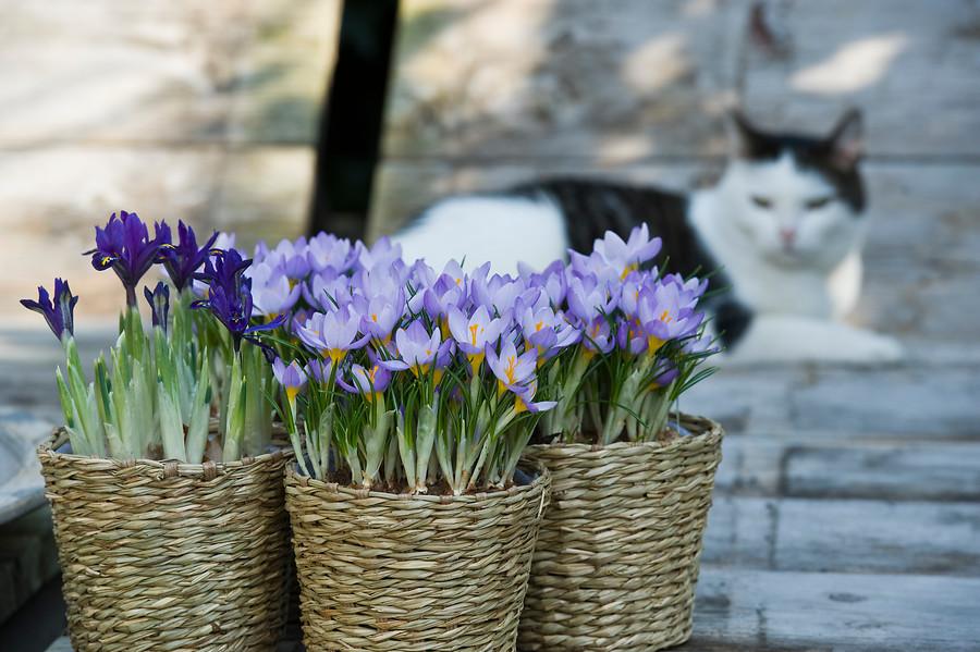 flores de azafrán en cestas de mimbre y gato