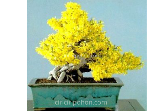Ciri Ciri Pohon Bonsai Flamboyan