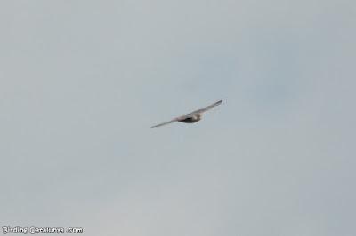 Mascle de falcó cama-roig en vol
