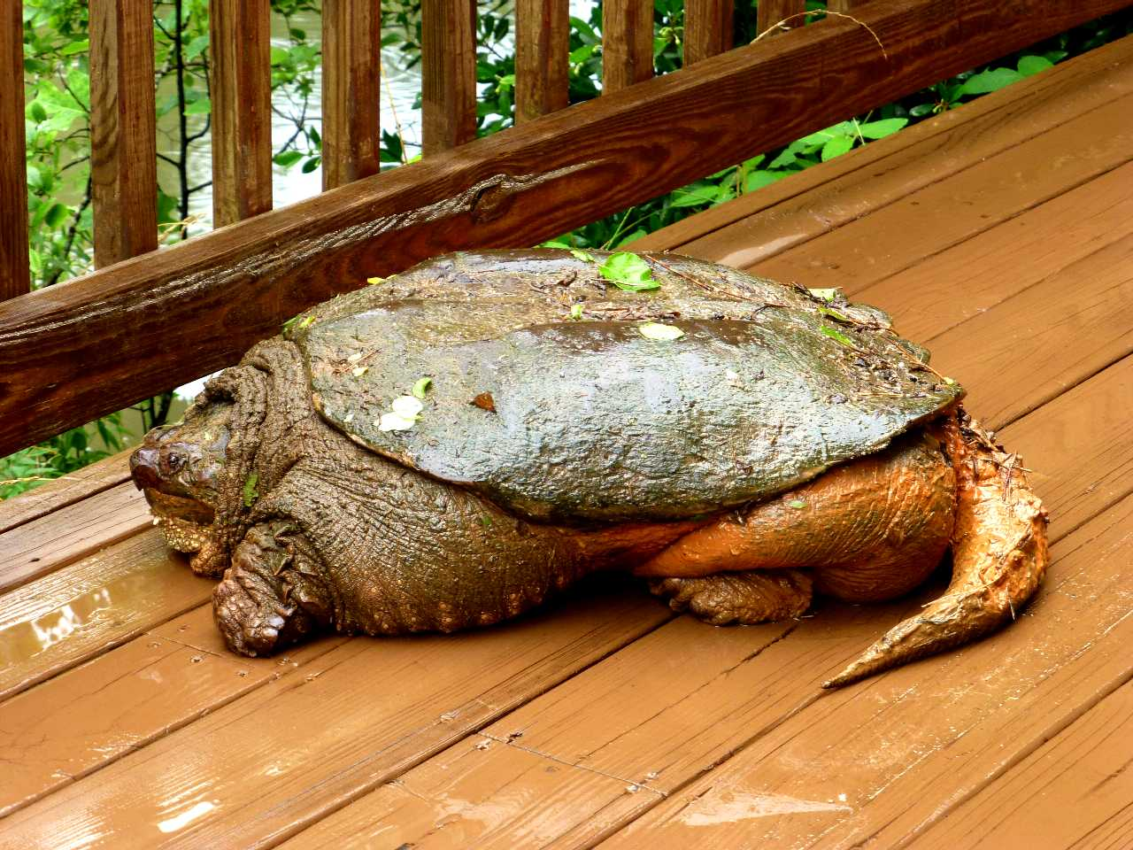 Our Wise Old Snapping Turtle