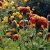आज गेंदे के खिले हुए रंगबिरंगे फूल देखे