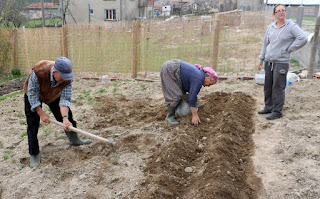 Usmivka digs, The Little Lady plants. We watch